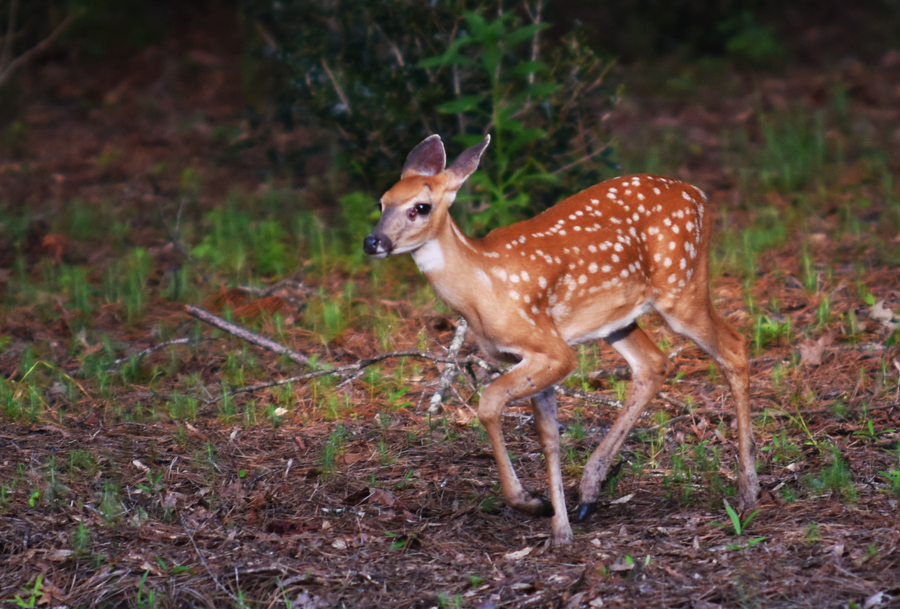 MMGINC FAWN July 2016_1 small